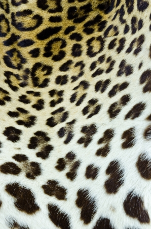Real tiger fur for background  Stock Photo - 13976970