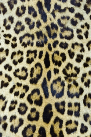 Real tiger fur for background  photo