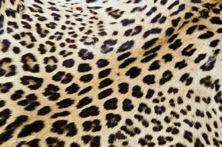Real tiger fur for background