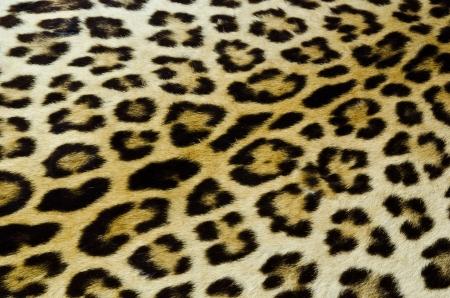 Real tiger fur photo