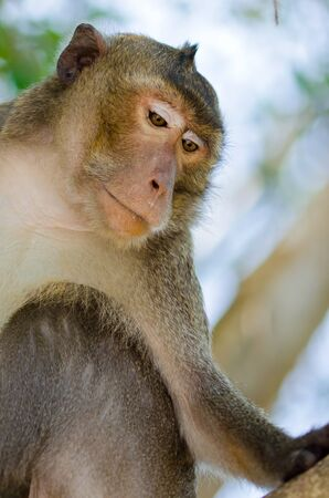 Portrait of asian monkey Stock Photo - 18617174