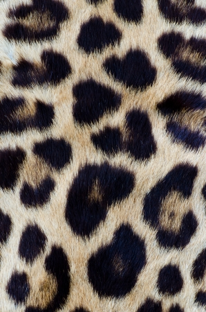 Real leopard hair for background Stock Photo