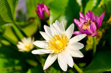 Closeup lotus blossom Stock Photo - 18617217