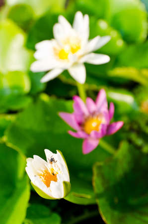 Closeup lotus blossom photo