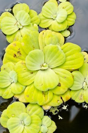 salvinia: Water lettuce