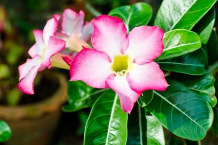 adenium obesum balf: Beauty impala lily blossom Stock Photo