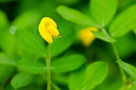 arachis: Blossom Pinto Peanut