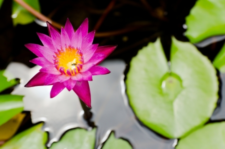 Closeup violet blossom waterlily