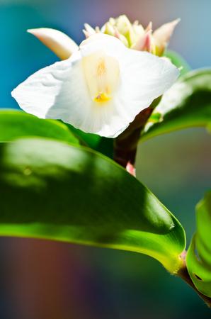 Closeup image of Crape Ginger flower blossom