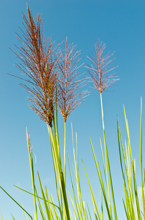 Tall grass with blue sky photo