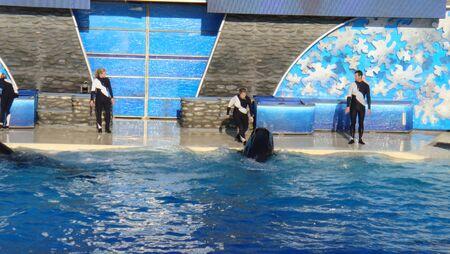San Diego, USA, December 12, 2008: Killer whale in Sea World in San Diego.