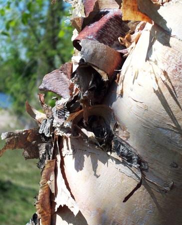 박달 나무 나무 껍질 필링 스톡 콘텐츠
