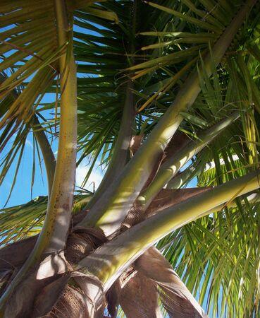 tree canopy: Palm Tree Canopy
