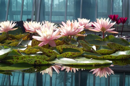 water lilies: Pink Water Lilies