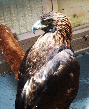 aigle royal: Aigle Dor Banque d'images