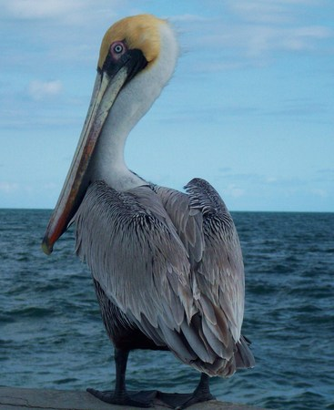 Pelican in Key West Florida