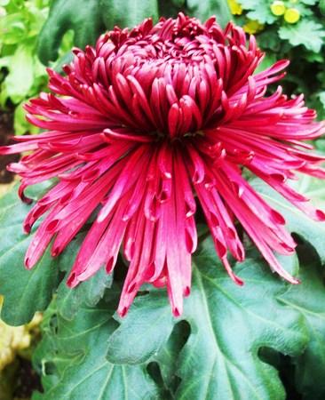 자주색 국화 꽃 스톡 콘텐츠