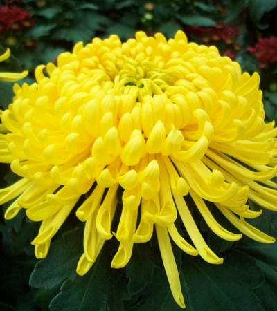 노란 국화 꽃