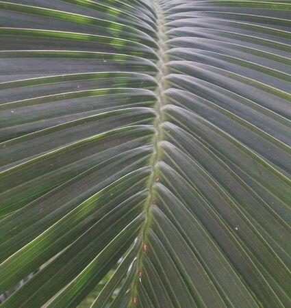 Palm varenblad Stockfoto