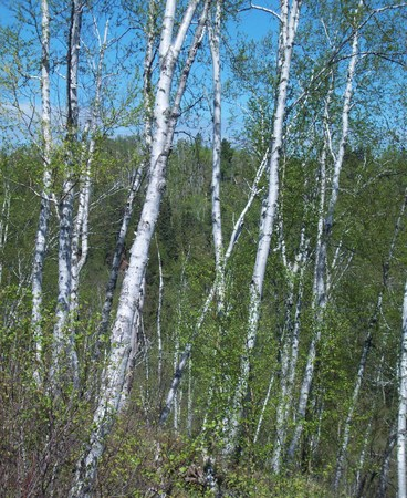 minnesota woods: White Bark Trees In The Forest Stock Photo