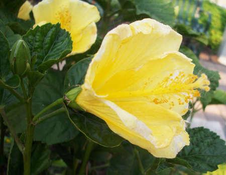 Yellow Hibiscus Flower Reklamní fotografie