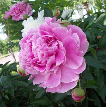 Pink Peony Flower Banco de Imagens - 41196676