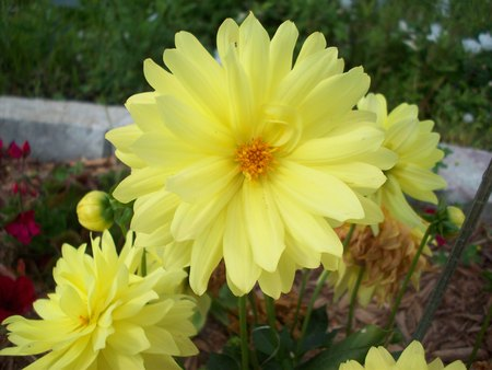 dahlia flower: Yellow Dahlia Flower