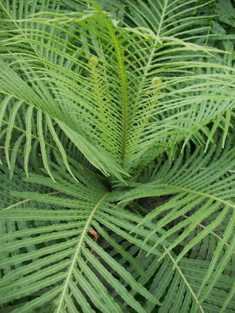 fronds: Fern Fronds Stock Photo