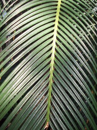palm frond: Palm Frond Stock Photo