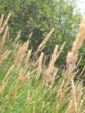 prairie: Prairie Grass Stock Photo