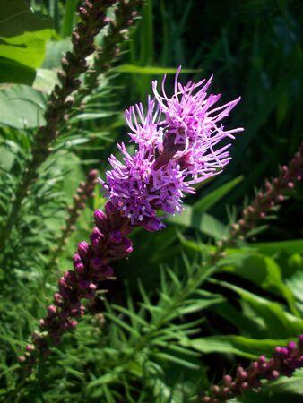 Liatris Plant