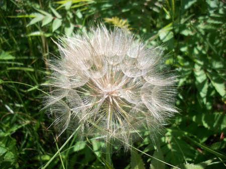 bud weed: White Dandelion