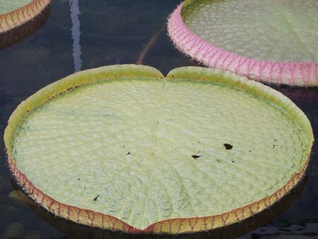 lily pads: Lily Pads Stock Photo