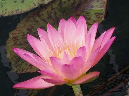 кувшинка: Water Lily