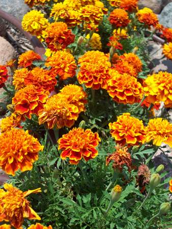 Marigold Flowers Stock Photo - 42520913