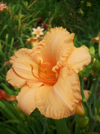 green ridge: Lily Flower