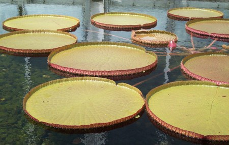 lily pad: Giant Lily Pad Stock Photo