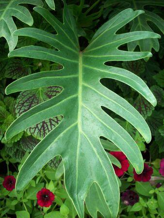 xanadu: Philodendron Xanadu Plant
