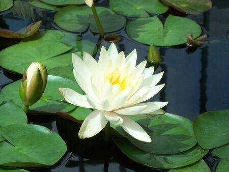 jardines con flores: Lirio De Agua