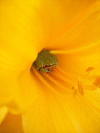 tiny frog: Frog in Center of Lily Flower