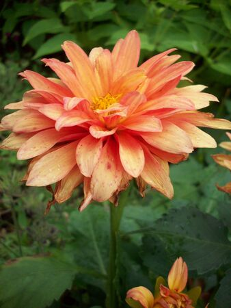 dahlia flower: Dahlia Flower
