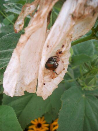 Beetle on White Flower Stok Fotoğraf