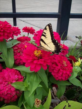 zinnia: Butterfly on Zinnia