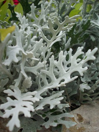 dusty: Dusty Miller Stock Photo