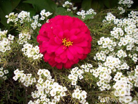 zinnia: Zinnia Flower