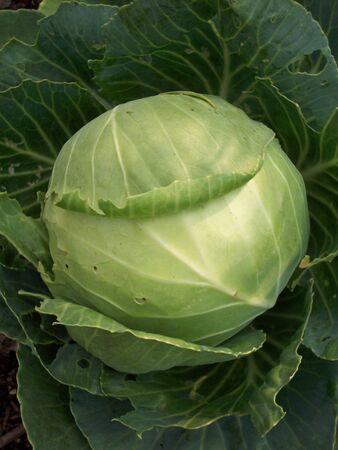 Cabbage Banco de Imagens