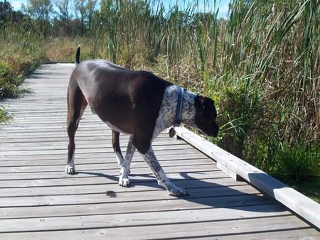 Hund auf dem Boardwalk Standard-Bild - 46047919