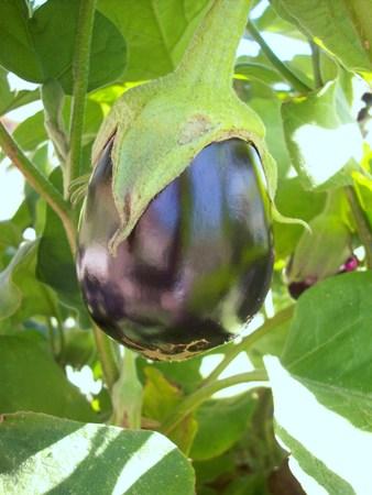 Eggplant Reklamní fotografie