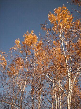 バーチの木
