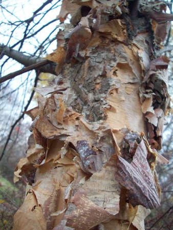 樺の木 写真素材